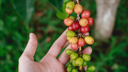 De la graine à la tasse : le parcours du grain de café