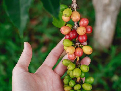 ¿El café es una fruta?