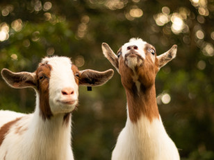 The Best Feed for Your Goat Herd