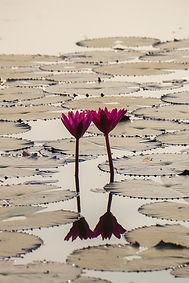 lotus cambodge