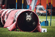 Focused & Competent Canine Competitor