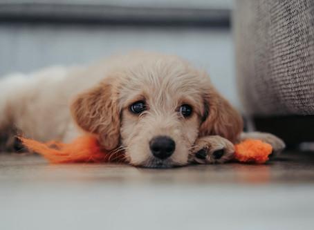 Какво трябва да знае всеки собственик на кученце за парвовирозата?