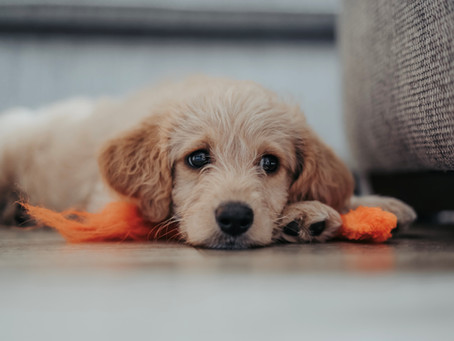 Mari Mengenal Penyakit Mematikan Parvovirus Pada Anjing