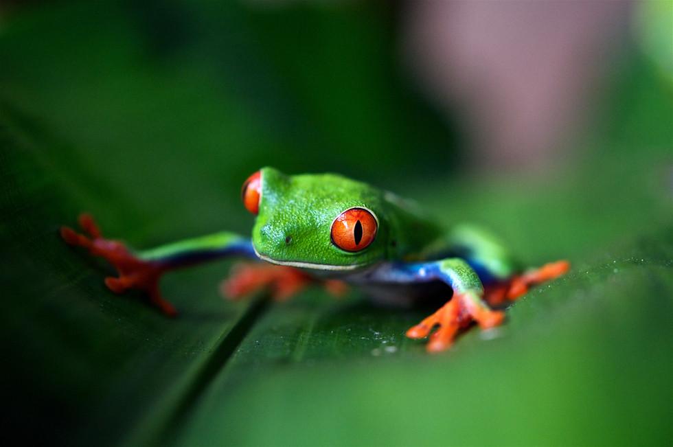 Rainette aux yeux rouges, photo de Trevor Cole