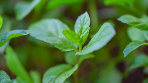 Power of Peppermint Leaf
