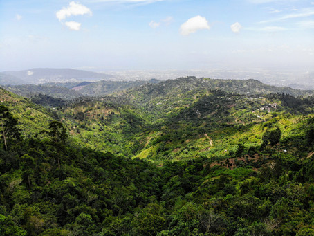 Why is Jamaican Blue Mountain Coffee so rare?