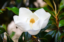 Magnolia Flower in Bloom