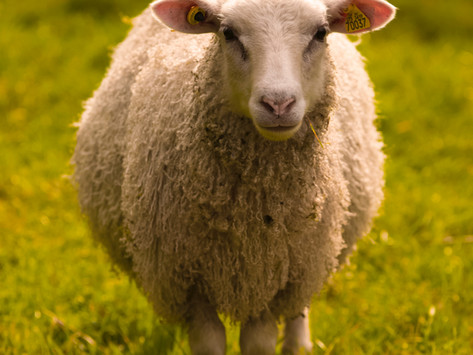 Feast of Christ the King (Ages 9-12): Sheep and Goats