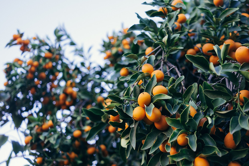 Kumquat tree with ripened fruit