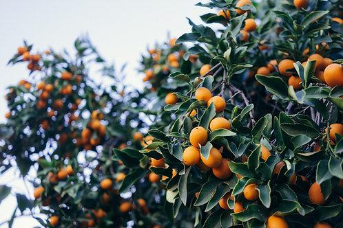 Calamansi Fruit Roll-Ups