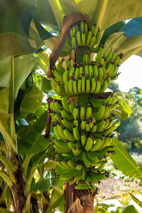 Banana Tree - Lady Finger
