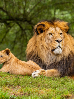 Top 5 Interesting Facts About Lions! 🧡🦁