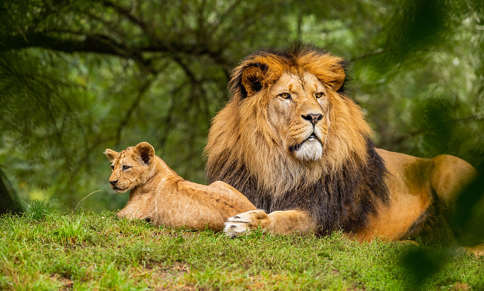 Is the Lion Truly the King of the Jungle?
