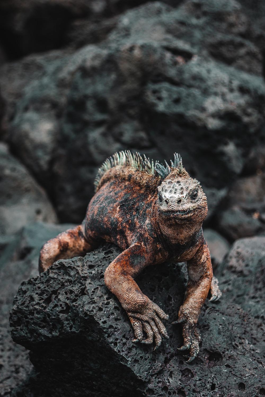 A Galapagos land iguana