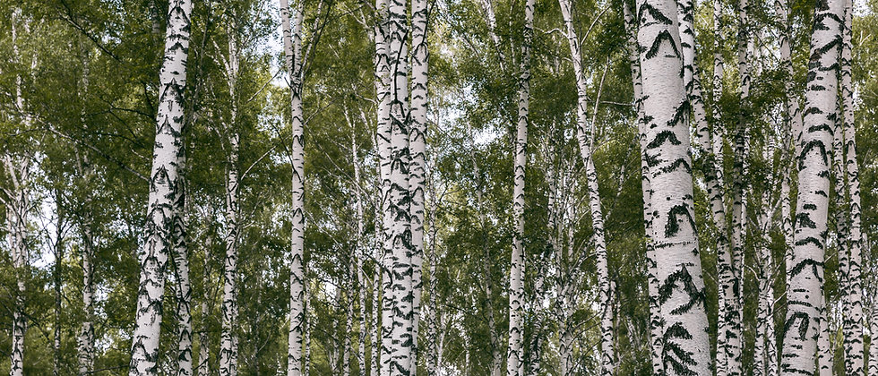 White Birch -Eucalyptus + Sweet Pine + Cypress