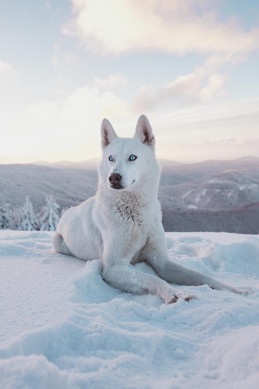 Wolf hond