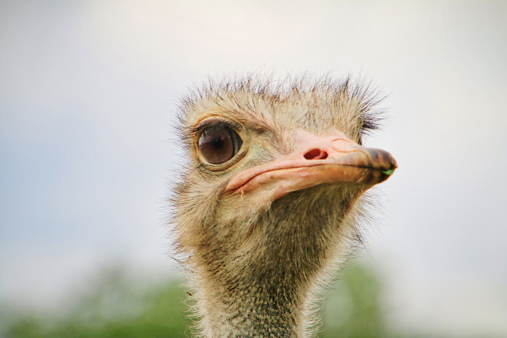 Image of an Ostrich head