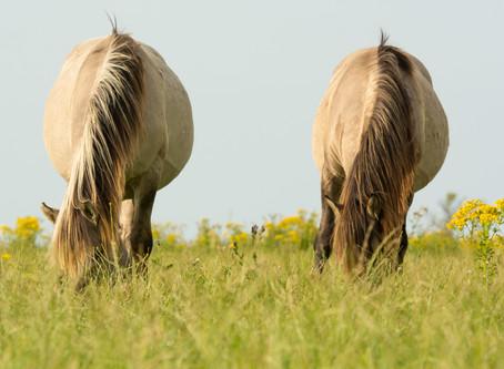 Bükkönymérgezés lovaknál