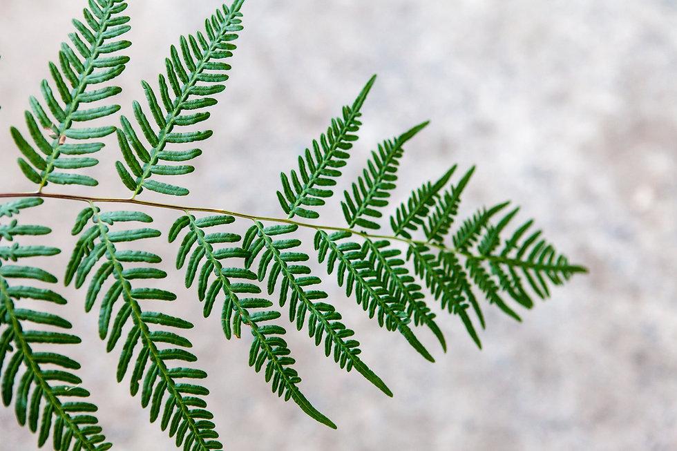 Image fern