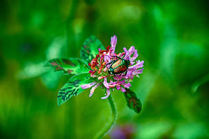 Japanese Beetle Destruction