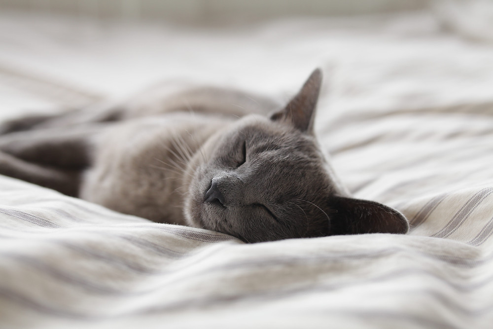a grey short haired cat sleeping on a cream and grey striped duvet or blanket