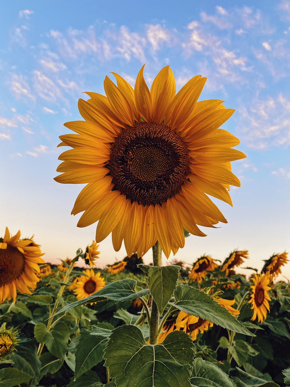 Sunflower in best home care services in Folsom PA 19033