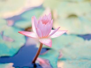 Rinasci ogni giorno e affronta le avversità come un fiore di Loto