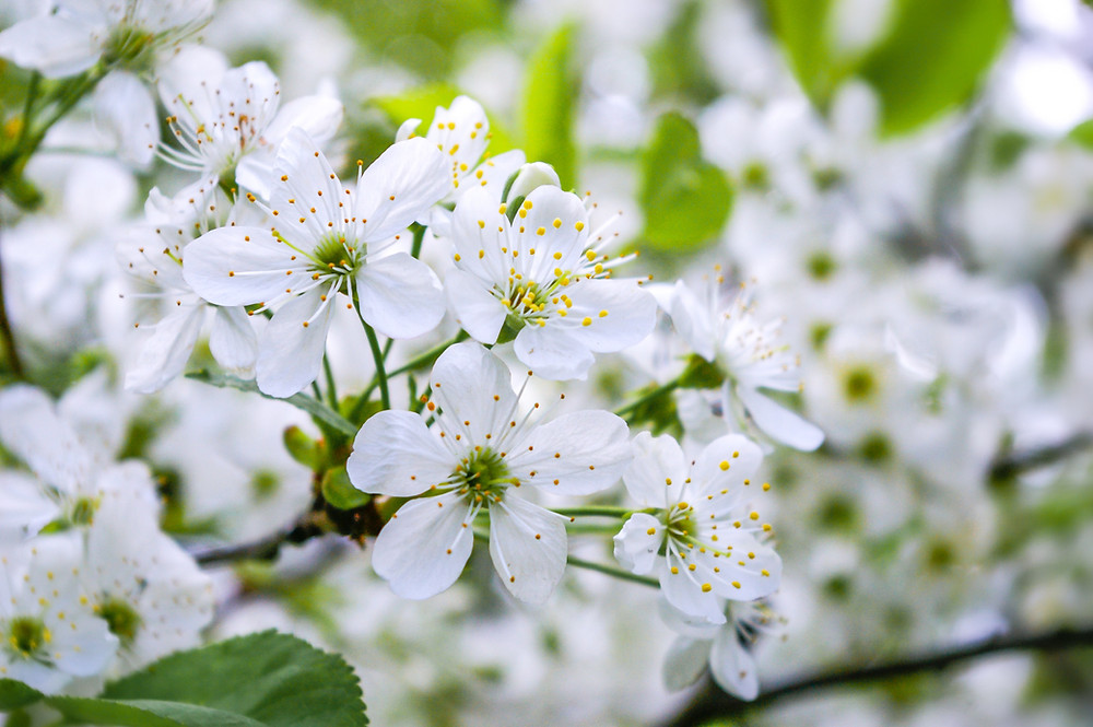 white cherry plum blossom
