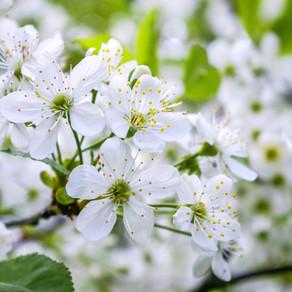 Cherry Plum Flower Remedy: I am losing control of my mind