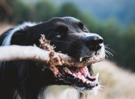 Zubní kámen u psů a koček
