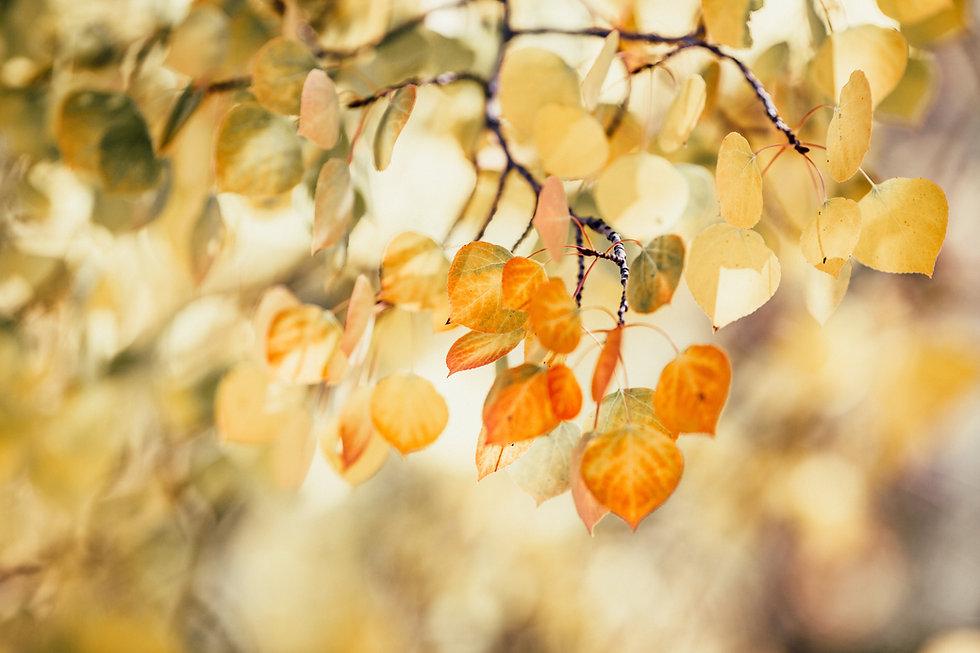Leaves turning orange in Autumn