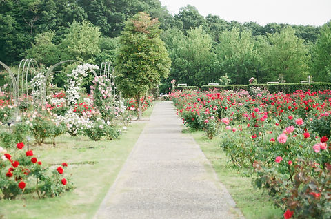 Image of rose garden by MIO ITO