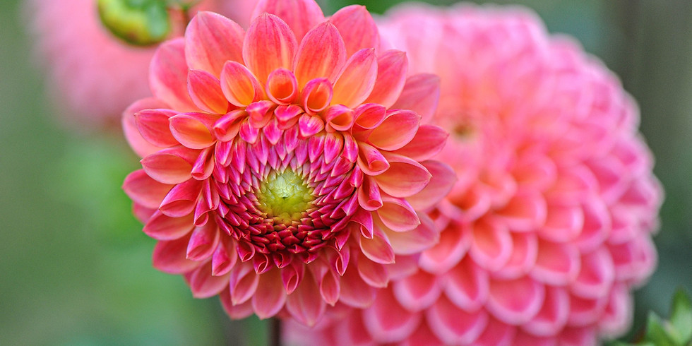"""Pepperell GC presents, """"Those Delightful Dahlias! How to grow and love them"""""""