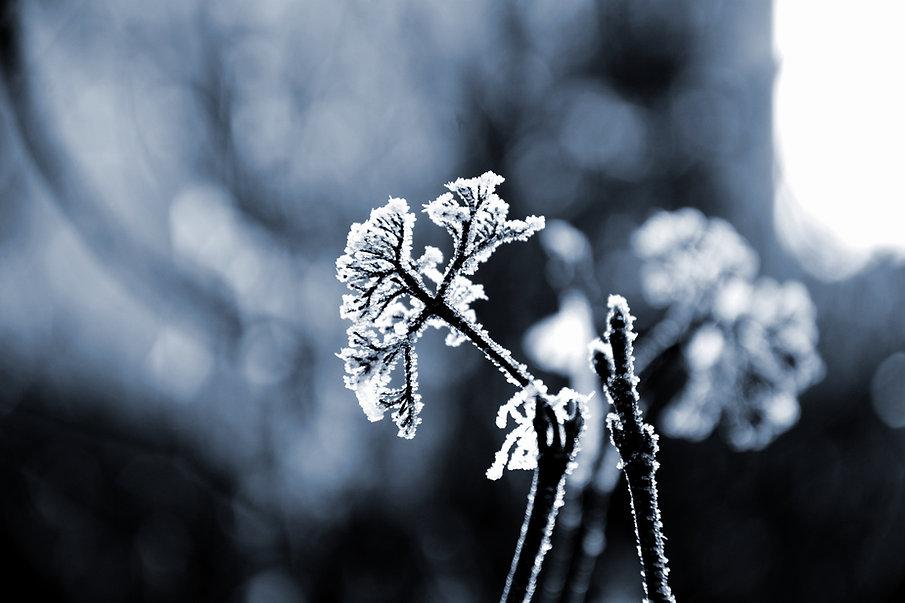 Hiver et plante gelée, Alexander Sinn