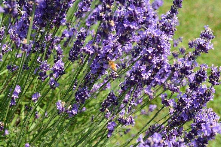 lavender field rizes crete