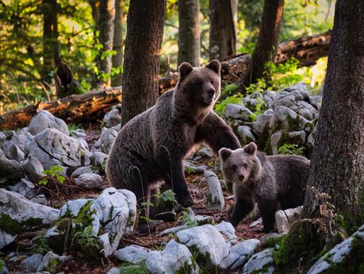 L'administration Trump réinstaure des techniques de chasse interdites en Alaska