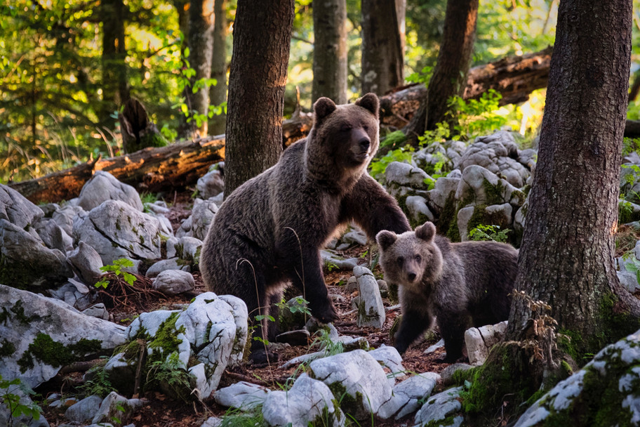Spotting grizzly bears in th Canadian Rockies