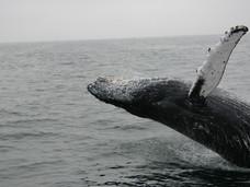 温哥华岛及BC省的鲸鱼之殇:危险的海洋垃圾