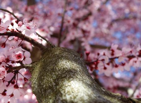 Kiraz ağacına ak mendiller bağlıyorum