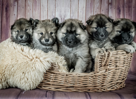How to pick a puppy?