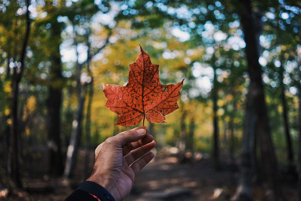 A brown-skinned hand holding up a textured red maple leaf against a forested background with light visible through the trees