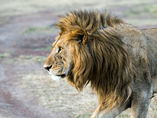 Declawed, defanged lion returned to owner in Cambodia