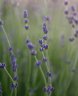 close-up of lavender bloom