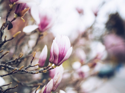 The Best Places to See Cherry Blossoms and Magnolia in London - South Kensington