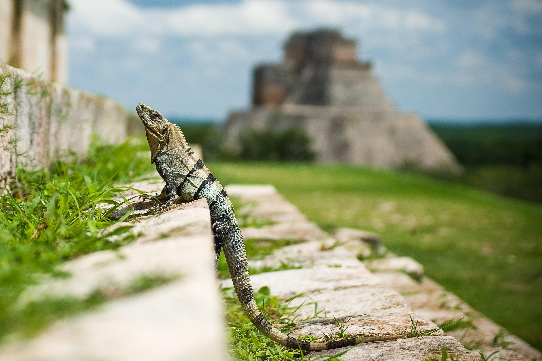 Uxmal Iguana © Marv Watson