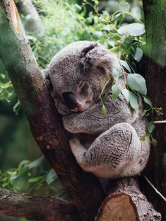 Koala bear is native to Australia and is one of the continent's most recogniazable animal.