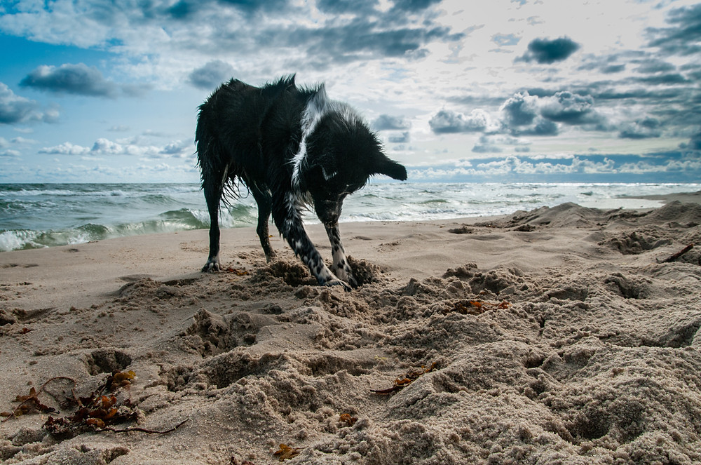 a black and white collie dog digging on the beach: a great form of enrichment and physical exercise