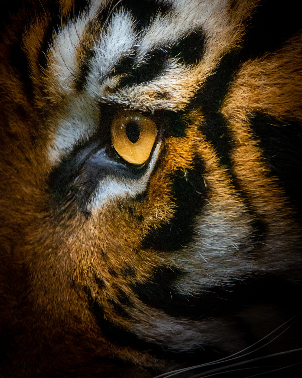 tiger eye cats are mostly tigers