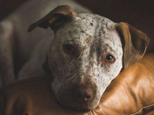 Vancouver : Le conseil veut empêcher les clauses interdisant les animaux dans les baux