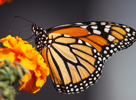 Monarch Watch – Are you ready???